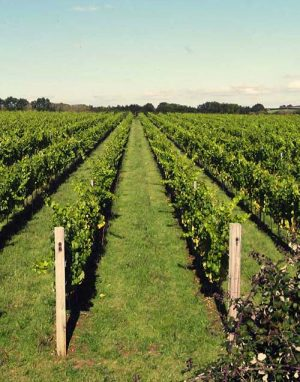 Vineyard Dorset