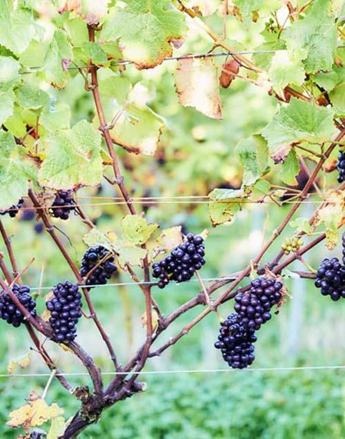 Vineyard Dorset