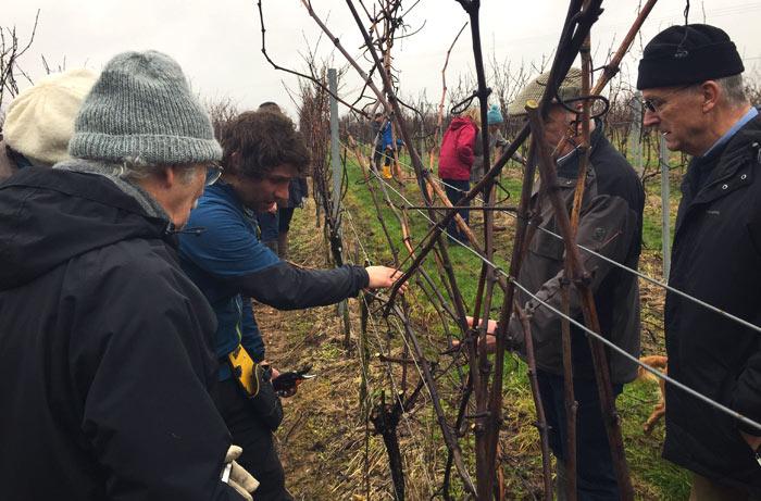 Dorset Wine - Pruning
